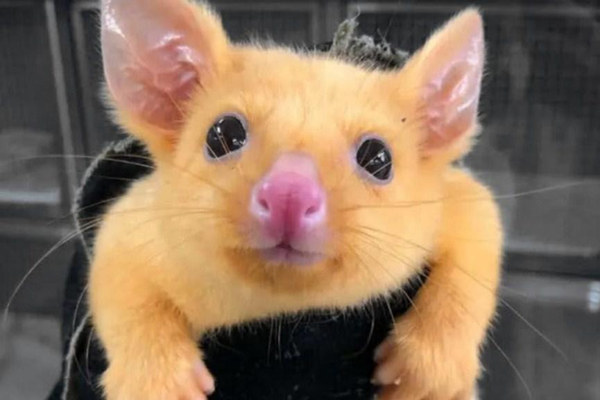 Покемоны существуют: в Австралии нашли желтого поссума, который так похож на