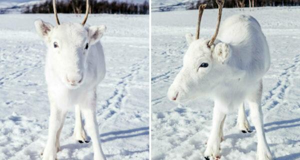 Предрождествеское чудо: редкий белоснежный олененок вышел к фотографу в Норвегии