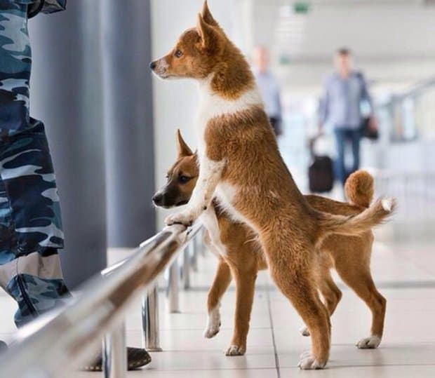 Jackal + Laika in Russia brought a new breed of dogs — shalika