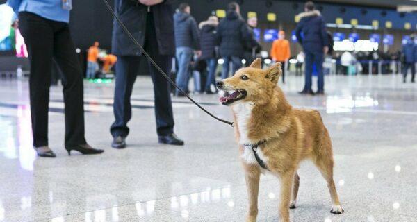 Шакал + лайка: в России вывели новую породу собак — шалайка