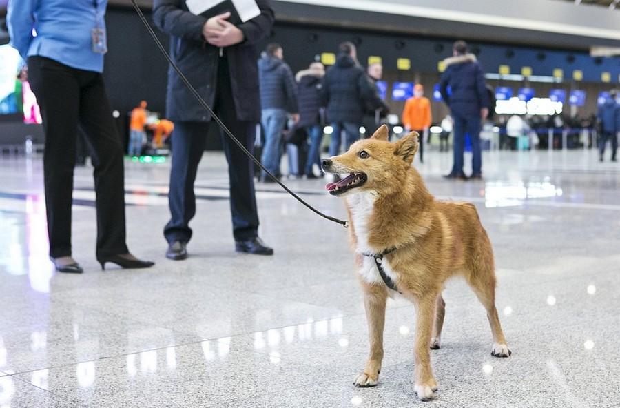 Шакал + лайка: в России вывели новую породу собак — шалайка фото