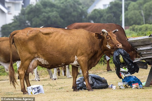 """Ar""""Moo-OO""""geddon: a riot of cows in South Africa"""