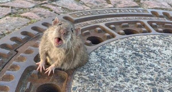 Ожирение опасно для жизни: в Германии спасатели освободили толстую крысу, застрявшую в отверстии люка