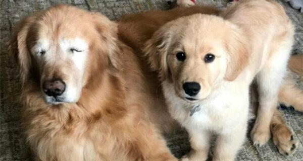 Слепой пес вновь «обрел зрение» благодаря маленькому другу