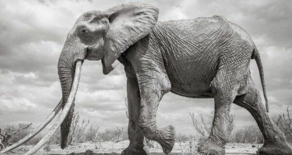 В Кении умерла редкая слониха с «супербивнями»