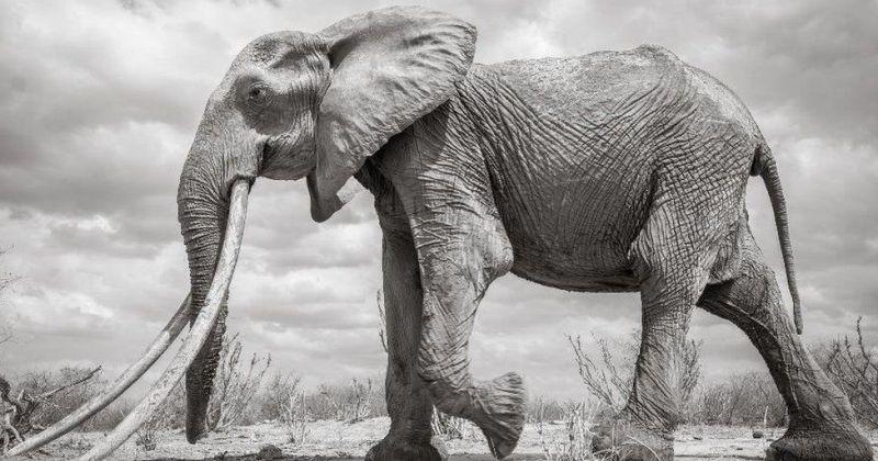 В Кении умерла редкая слониха с «супербивнями» зверушки,живность,питомцы, Животные