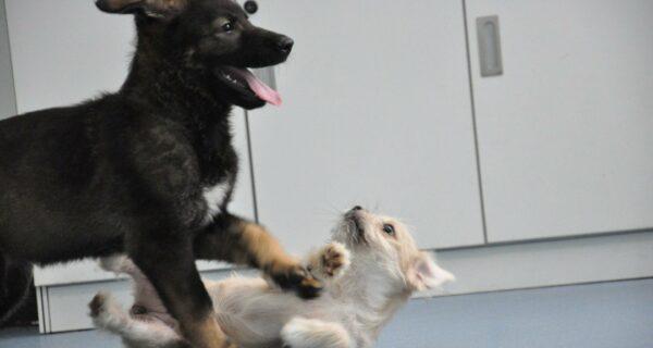 В Китае щенок первой клонированной полицейской собаки приступил к обучению