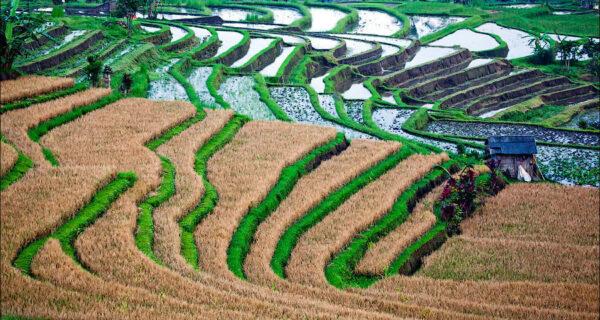 Балийские рисовые поля