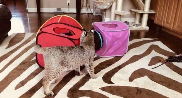Спасённый кот оказался рысью