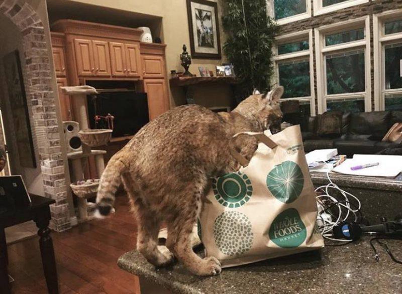 В доме стал жить не кот а рысь