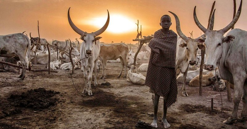 Будни африканского народа динка: женщины, не признающие одежду, побежденный рак и буйволы фото
