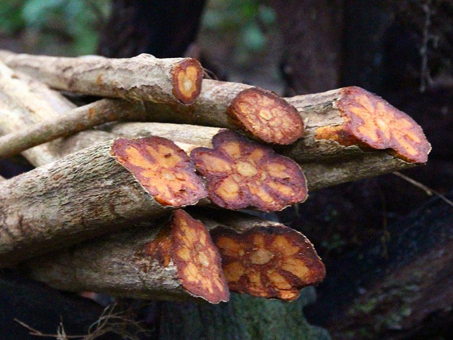 Banisteriopsis caapi - главный компонент аяуаски