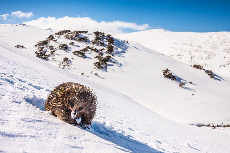 Кенгуру под снегом и другие чудеса природы Австралии на фото конкурса Nature Photographer of the Year 2019