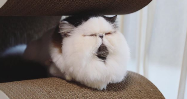 Томный котик по имени Зуу покоряет сердца пользователей
