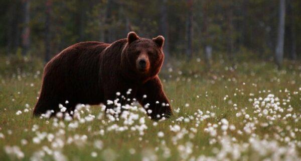 Турецкий фермер привлек медведей-воришек к дегустации меда и не прогадал