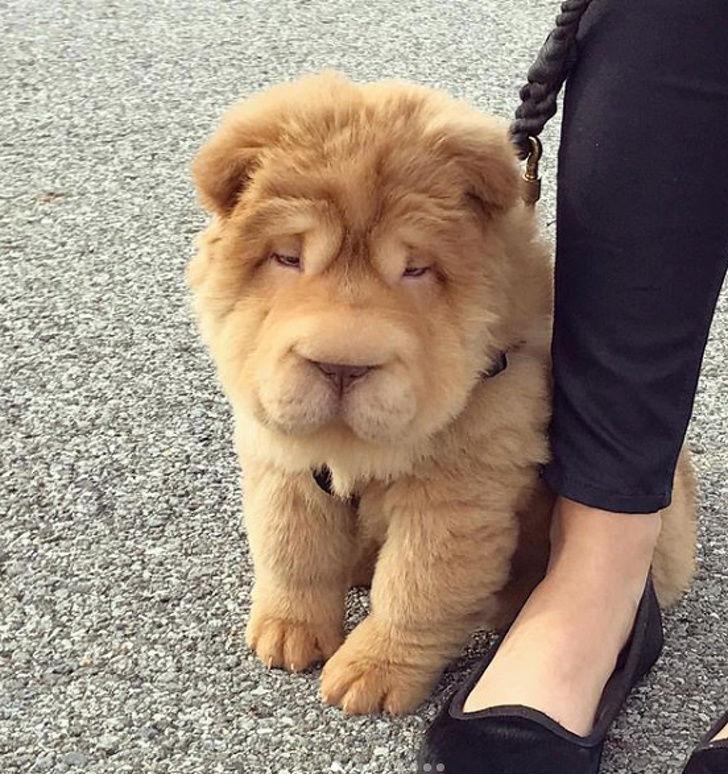 25 самых необычных пород собак, полученных в результате скрещивания фото