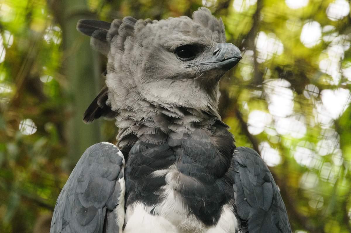 Птица гарпия картинка