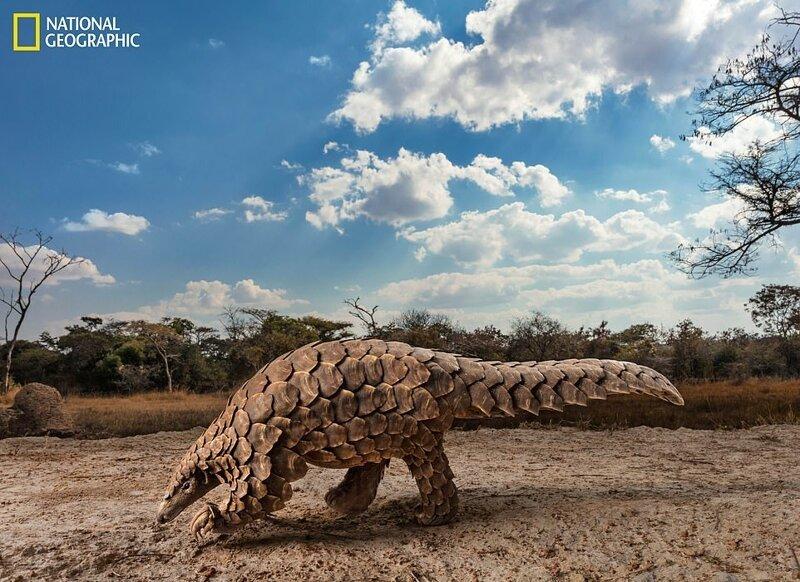 Панголин Тамуда в поисках муравьев или термитов в реабилитационном центре в Зимбабве