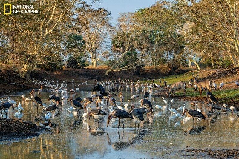 Голодные птицы, включая аистов, цапель и молотоглавов, а также пара водяных козлов собрались на водопое в Национальном парке Горонгоса, Мозамбик
