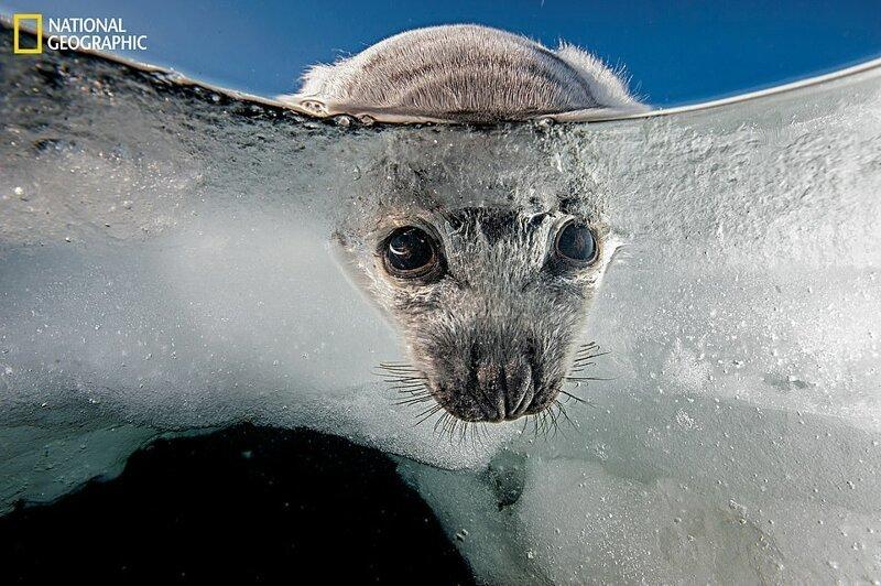 Детеныши гренландского тюленя рождаются на льду и нуждаются в твердой поверхности, чтобы выжить