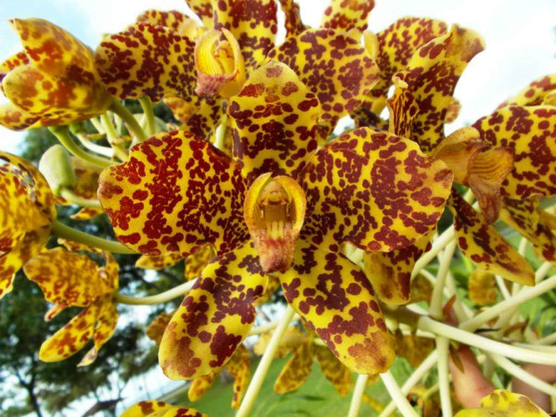 тигровая орхидея Grammatophyllum