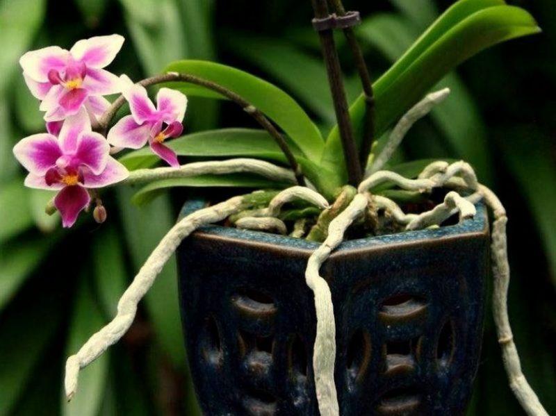 орхидея с воздушными корнями