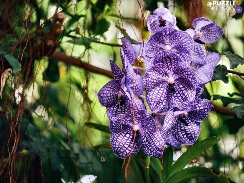 орхидея-паразит