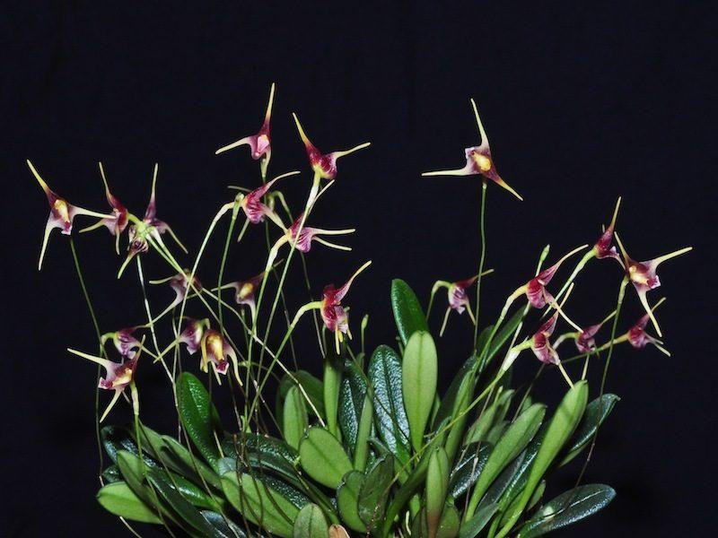 орхидея-хищник порроглоссум