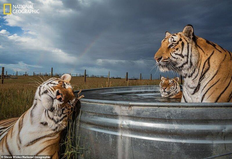Клэй, Дэниел и Энцо наслаждаются водными процедурами в заповеднике диких животных в Кинсбурге, штат Колорадо
