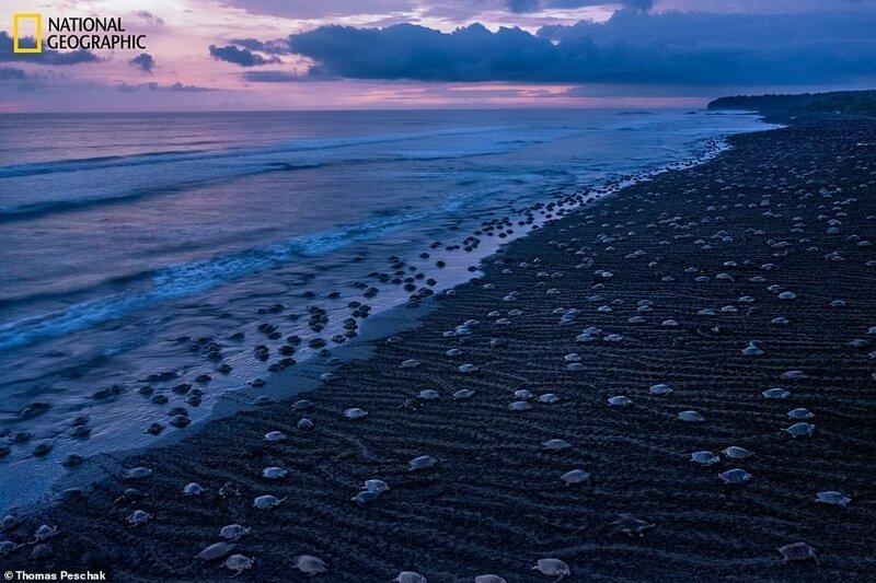 Десятки тысяч атлантических ридлей выбираются на берег и откладывают яйца в массовом гнездовании, известном как аррибада
