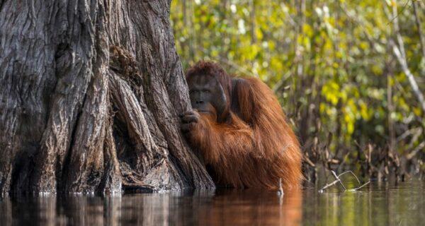 В лесах Борнео орангутанг пришел на помощь человеку и попал вкадр