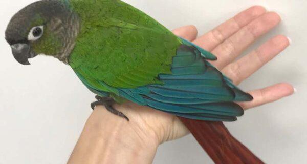 Как ветеринар из Австралии пришила попугаю новые крылья