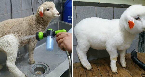 Как работает уникальное кафе в Сеуле, где можно пить кофе с белыми пушистыми овечками