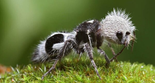 Белые и пушистые «убийцы коров»: муравьи-самозванцы, с которыми нужно считаться