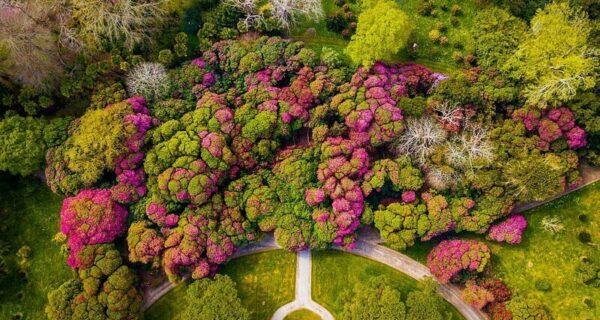 В Британии цветут рододендроны и это невероятно красиво