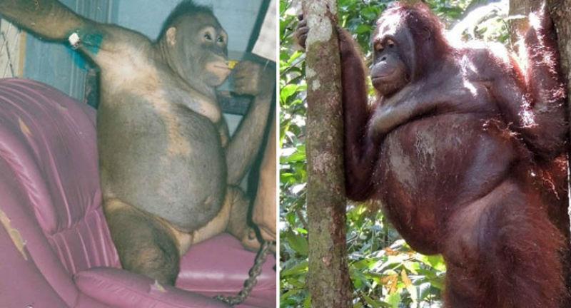 История орангутана Пони, которая 6 лет провела в сексуальном рабстве на острове Борнео