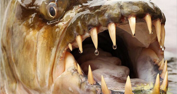 Водный монстр из Африки — тигровая рыба Голиаф