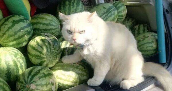 Сердитый кот работает охранником арбузов в Таиланде