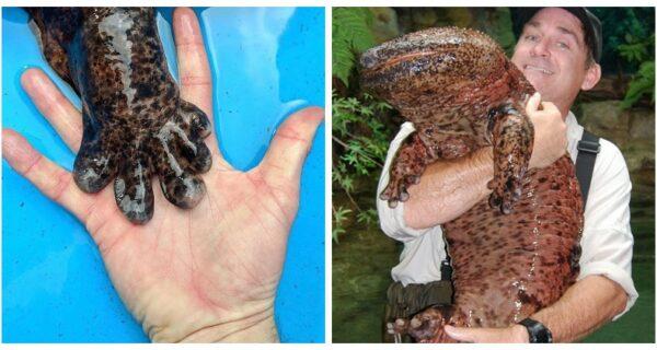Чудо из Азии: 7 интересных фактов о японской исполинской саламандре