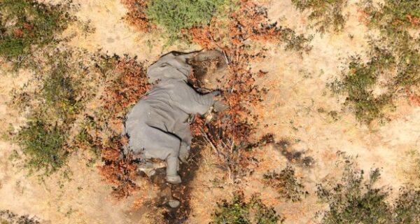 Катастрофа в Ботсване: по непонятной причине там погибли более 350 слонов