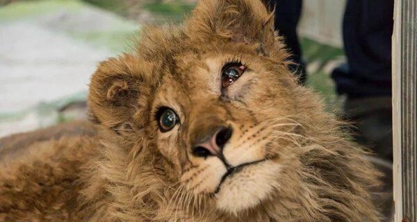 Как спасали львенка Симбу, которому хозяева сломали лапы, чтобы он фотографировался с туристами