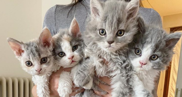 Кудрявые котята, похожие на плюшевые игрушки, не оставляют равнодушными никого