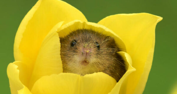 Фотограф снял, как мышки-малютки прячутся в тюльпанах, и мы не можем перестать смотреть наэто