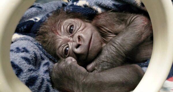 Долгожданный малыш: в американском зоопарке горилла родила редкого детеныша