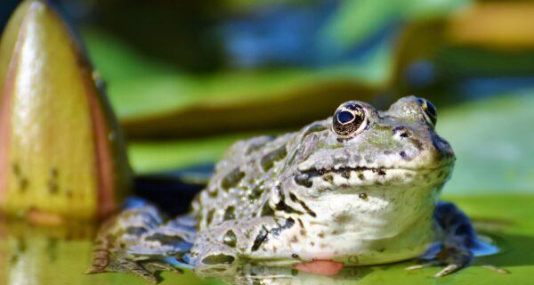 Во Франции суд постановил выселить шумных лягушек из деревенского пруда