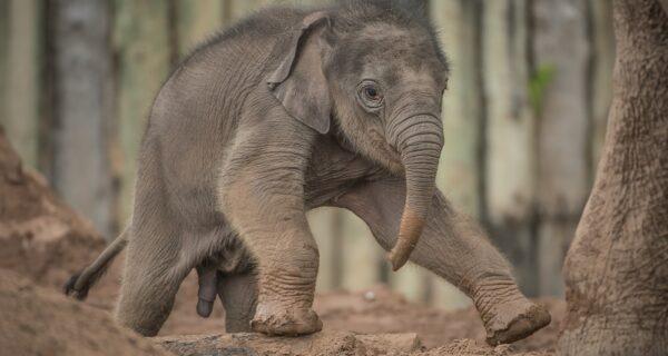 В Таиланде мотоциклист сбил слоненка, но спасатель реанимировал малыша