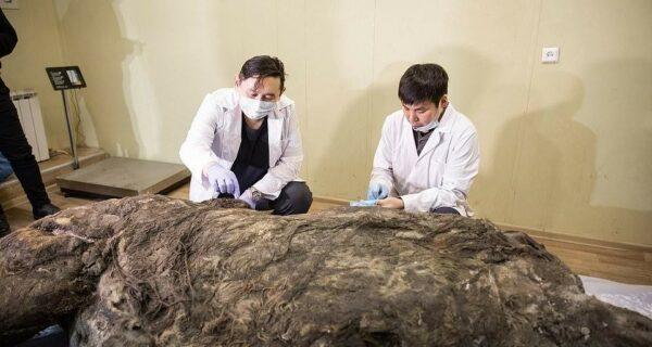 В Якутии разморозили тушу древнего шерстистого носорога