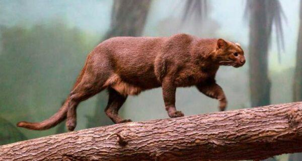 Ягуарунди — длинная чирикающая кошка, которая дружит с обезьянами и ест бананы