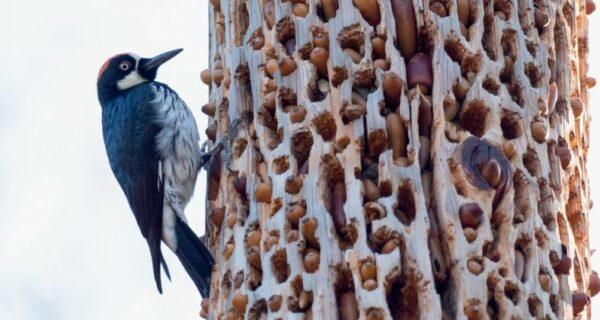 Желудевые дятлы, или Как построить социализм на отдельно взятом дереве