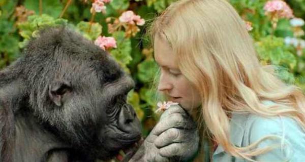 Говорящая горилла Коко — правда, мистификация или заблуждение ученых?